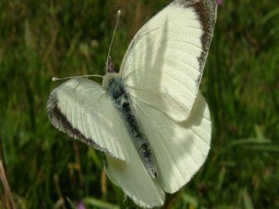 tratamente-impotriva-fluturelui-alb-al-verzei-compatibile-cu-agricultura-ecologica