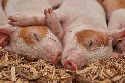 vesti-bune-din-tulcea-mai-sunt-active-3-focare-de-pesta-porcina-africana