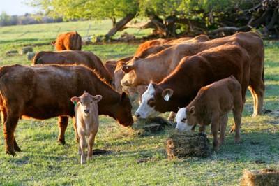 fonduri-europene-disponibile-in-noiembrie-pentru-ferme-de-vaci-de-carne-si-depozite-de-legume-fructe