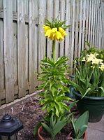 fritillaria lutea, specie ornamentala cultivata