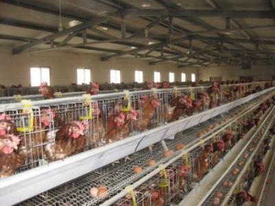 crescatorii-de-pasari-pretul-oului-a-scazut-la-poarta-avicolelor