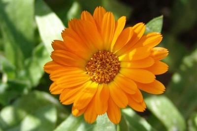 galbenelele-medicinale-si-ornamentale