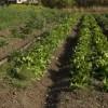 Mine antipersonal in gradina de legume