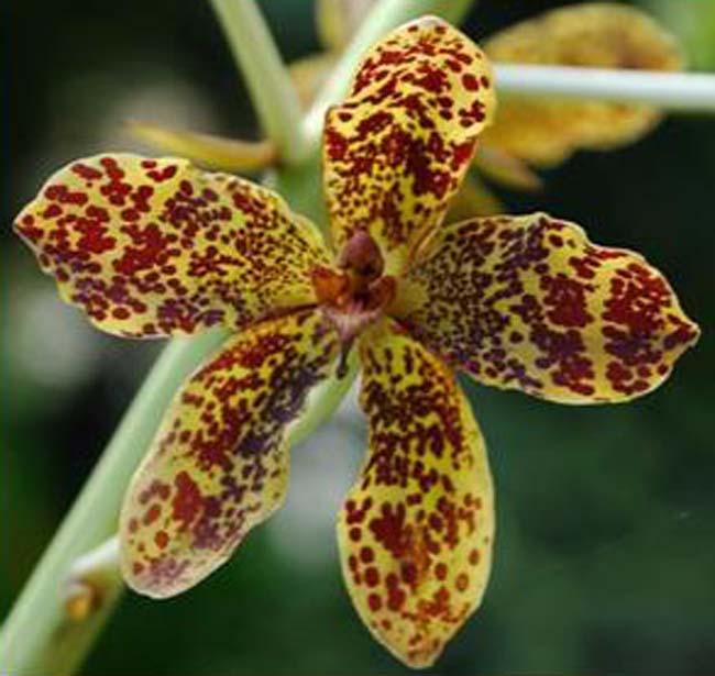 grammatophyllum-speciosum-cea-mai-mare-orhidee-din-lume