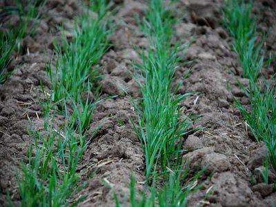 tratamente-fitosanitare-de-sezon-pentru-culturile-de-grau-orz-si-secara