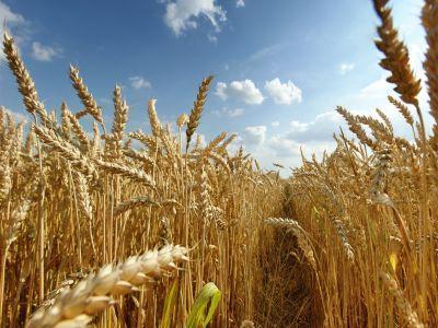 seceta-din-acest-an-va-duce-la-o-crestere-a-pretului-graului-la-nivel-mondial