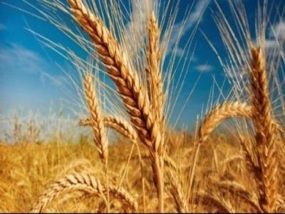 ce-tratamente-fitosanitare-se-recomanda-pentru-culturile-de-grau-orz-si-secara