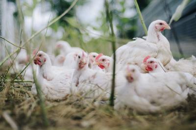 ministerul-agriculturii-porneste-ancheta-pentru-a-afla-sursa-gripei-aviare