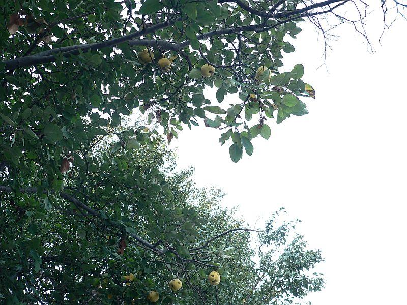 gutuiul-soiuri-de-gutui-cultivate-in-romania