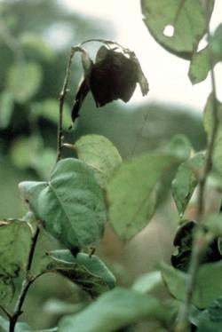 Cum se manifestă focul bacterian la pomi (Erwinia amylovora)