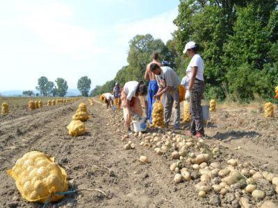 fermierii-din-covasna-vor-sa-ramana-lideri-in-productia-de-cartofi