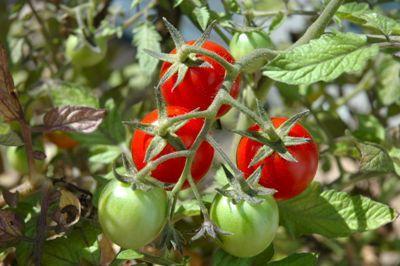 cresterea-tomatelor-in-functie-de-factorii-climatici