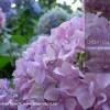 Hortensia, inflorire spectaculoasa in lunile de vara. Cum se ingrijeste hortensia