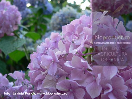 hortensia-inflorire-spectaculoasa-in-lunile-de-vara-cum-se-ingrijeste-hortensia