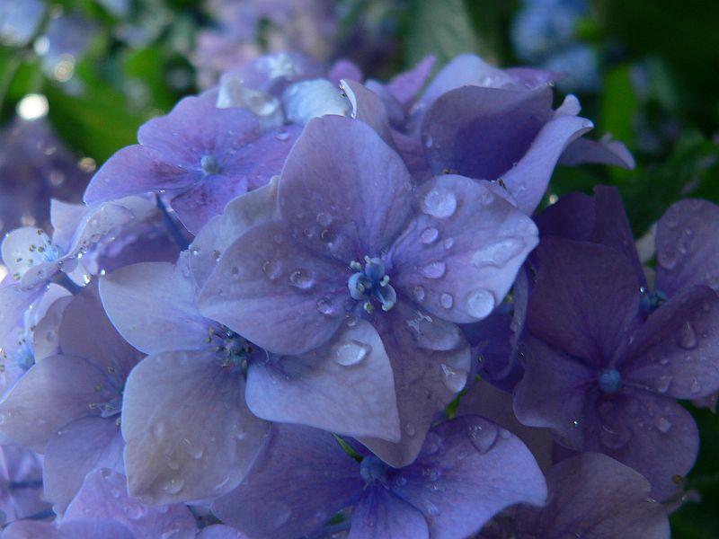 hortensia-culori-de-vara-in-gradina