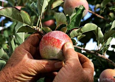 insecticide-pomi-fructiferi-pentru-tratamente-in-perioada-vara-toamna