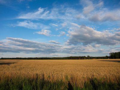 recolta-de-grau-din-culturile-ilfovene-redusa-la-jumatate-de-ploi-si-grindina