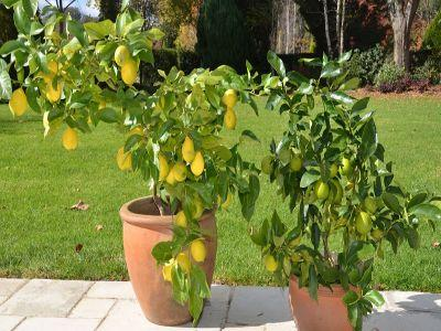 ingrijirea-citricelor-lamai-portocal-mandarin-calamondin-tainele-citricelor-de-apartament