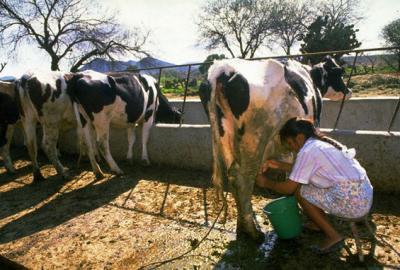 romlacta-fermierul-mic-are-voie-sa-duca-laptele-la-piata