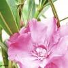 Leandrul - Nerium oleander