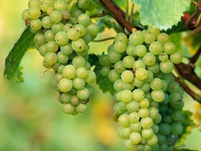 in-atentia-viticultorilor-a-fost-aprobat-proiectul-de-lege-a-viei-si-vinului