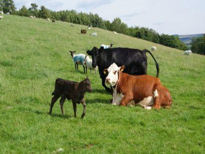 fermierii-care-falsifica-originea-animalelor-risca-inchisoarea