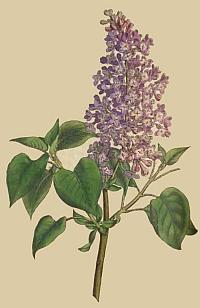 Liliacul, cel mai frumos şi parfumat arbust ornamental de primăvară