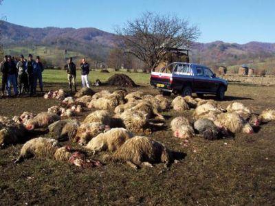 pagube-de-peste-400000-de-lei-produse-fermierilor-de-animalele-din-specii-protejate