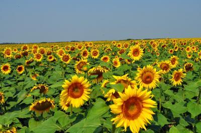 madr-productia-de-porumb-este-in-scadere-iar-cea-de-floarea-soarelui-in-crestere