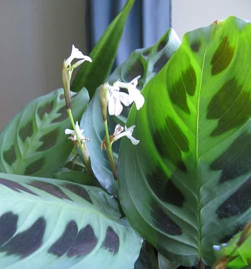 Maranta leuconeura, planta care se roaga. Plante decorative prin frunze.