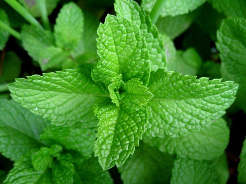 menta-o-planta-medicinala-usor-de-cultivat-in-sistem-ecologic-tehnologia-de-cultivare-a-mentei