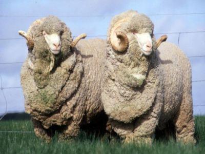 plati-compensatorii-pentru-crescatorii-de-animale-de-ferma-din-rase-locale-in-pericol-de-abandon