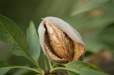plantatie-de-migdal-convertita-la-standarde-ecologice