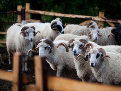 noi-ajutoare-de-minimis-pentru-crescatorii-de-ovine-si-caprine