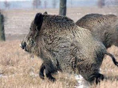 un-nou-caz-de-pesta-porcina-depistat-in-satul-mare