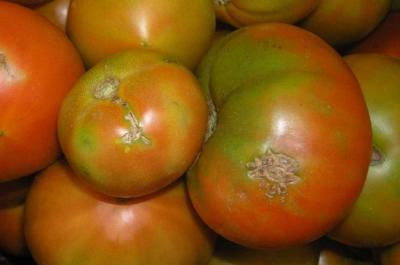 tuta-absoluta-molia-miniera-a-frunzelor-care-afecteaza-tomatele-depistata-in-moldova