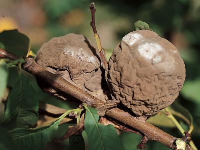 avertizare-fitosanitara-pentru-prun-cires-visin-cais-piersic