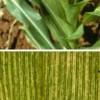 Bolile porumbului: MOZAICUL PORUMBULUI (Sorghum red stripe virus)