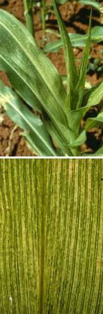 bolile-porumbului-mozaicul-porumbului-sorghum-red-stripe-virus