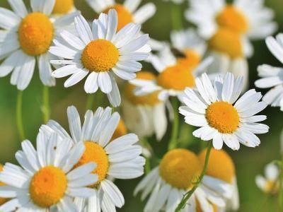 infografic-cultivarea-plantelor-medicinale-si-aromatice-in-sistem-ecologic