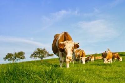 ansvsa-'romania-a-fost-exclusa-din-notificarea-referitoare-la-neefectuarea-testelor-bse-la-bovine