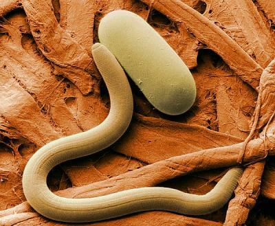 reproducerea nematozilor)