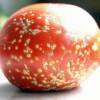 Bolile tomatelor. Totul despre cultivarea si ingrijirea rosiilor