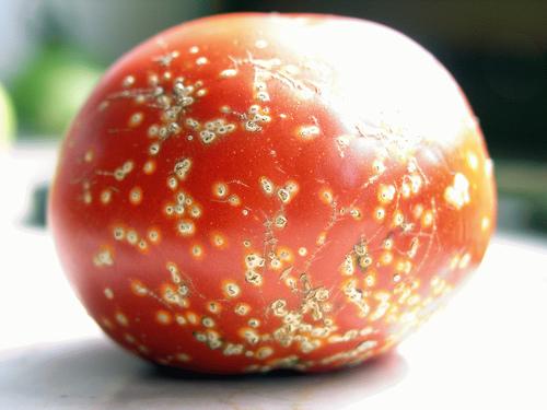 bolile-tomatelor-totul-despre-cultivarea-si-ingrijirea-rosiilor