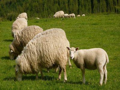 o-noua-transa-de-plati-de-ajutoare-de-stat-pentru-ameliorarea-raselor-de-animale