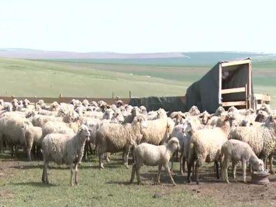 romania-printre-tarile-ue-cu-cele-mai-mari-efective-de-ovine