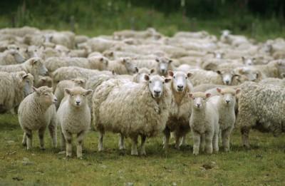 seful-madr-promite-ca-subventiile-pentru-crescatorii-de-ovine-vor-creste-pana-in-2020