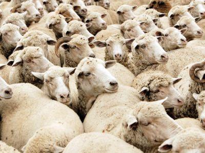 importurile-de-carne-de-oaie-au-depasit-anul-trecut-35-milioane-de-euro