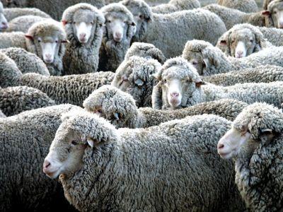 madr-32000-de-fermieri-au-depus-cereri-pentru-subventia-pentru-lana-care-sunt-pasii-de-urmat-in-continuare