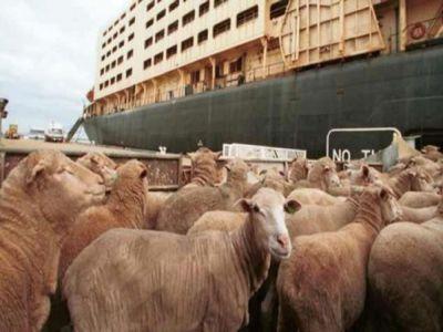 mai-multe-companii-arabe-interesate-sa-importe-animale-vii-din-romania